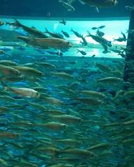 Swarm #toronto #ripleysaquarium #aquarium #fish #schooloffish #latergram (randyfmcdonald) Tags: fish ripleysaquarium latergram schooloffish aquarium toronto