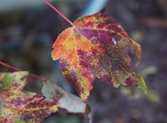 DSC07180 (Old Lenses New Camera) Tags: sony a7r olympus zuiko macro automacro 50mm f2 plants garden leaves tree mapleleaf autumn