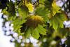 Autumn Colour (--Kei--) Tags: nikon d810 ais nikkor 50mm 50mmf12 nikon50mmf12ais autumn colour leaves