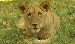 (WendieLarson) Tags: wickedhair wendielou wendielarson animal d7000 california zoo chaffeezoo nikon nature cub lion cat cats