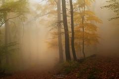 Song of the woods (Rita Eberle-Wessner) Tags: forest wood woods wald nebel fog tree trees baum bäume leaves laub foresttrail waldweg foggy mysterious neblig geheimnisvoll flickrdiamond