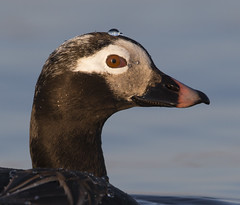 Long-tailed Duck Head Shot BE1U1869 Barrow Alaska (www.sabrewingtours.com) Tags: barrow alaska arctic tundra pond water drop longtailed duck long tail waterfowl oldsquaw diver sea brian zwiebel bz sabrewing nature tours snt photo tour ak bird male drake breeding plumage