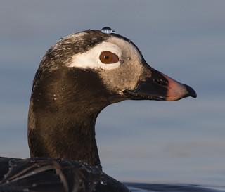 Long-tailed Duck Head Shot BE1U1869 Barrow Alaska