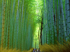 Arashiyama Bamboo Grove (Mikiong) Tags: japan bamboo kyoto travel forest
