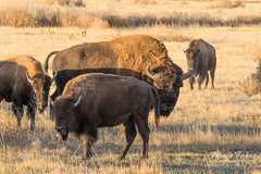 Bison bull guarding his women