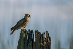 Whistling Kite greeting the sunrise (AWLancaster) Tags: bird prey birdofprey hunter hunting raptor sunrise birding wetlands feathered photowalk sony sigma 500mm lightroom outdoors beautifulbirds