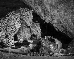 IMGP9150 Dinner for two (Claudio e Lucia Images around the world) Tags: leopard leopardcub cub pup puppy youngleopard dinner nightshot nightdrive pentax pentax60250 africa bynight