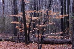 The Joy of November Dreams (Haytham M.) Tags: canada ontario november leaves autumn fall ature plant trees woods
