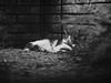 Kitter (BurlapZack) Tags: olympusomdem5markii olympusmzuikoed75mmf18 vscofilm pack06 dallastx addisontx cat catto kitten kitty kitter meow sleep catnap nap garden backyard bokeh telephoto dof pet peaceful asleep bw mono monochrome bush shrub critter brickwall