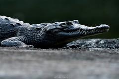 Crocodile (Crocodylus acutus) (Jeffrey Jang Photography) Tags: crocodile crocodylusacutus gamboa colon panama pa herptile nature naturephotography nikon centralamerica reptile wildlife wildlifephotography jeff jeffrey jang jeffreyjangphotography h022042017