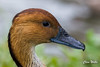 Fulvous Whistling Duck (wells117) Tags: 2017 august2017 lesserwhistlingduck pensthorpenaturereserve aug auguast clivewells dendrocygnabicolor duck nature naturereserve norfolk pensthorpe wildfowl northnorfolkdistrict england unitedkingdom
