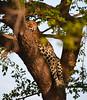 Leopard, Timbavati (Mike/Claire) Tags: leopard 2016 southafrica tandatula timbavati