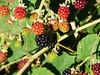 Bounty (Lexie's Mum) Tags: continuing30dayswild walking walks walkingthedog nature wildlife scenery floraandfauna blackberries shiny
