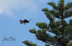 Love Is In The Air... (jan-krux photography - thx for 2.5 Mio+ views) Tags: piedcrow corvusalbus bif birdinflight vogel kraehe im fliegen balzen balzflug tier animal southafrica westerncape suedafrika westkap olympus omd em1mkii explore inexplore