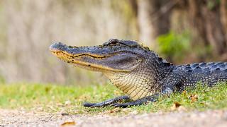Gator 002