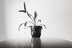 asymmetry (Tony Macrellis) Tags: atmosphere clam peace asymmetric asymmetry stilllife indoor plant pot refelction table top bw blackandwhite potplant