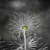 Electric (mclcbooks) Tags: flower flowers floral macro closeup pulsatilla pasqueflower denverbotanicgardens colorado blackandwhite selectivecolor monochrome seedhead