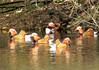 Aix galericulata Mandarin Ducks (cawthraw) Tags: yarnerwood dartmoor aixgalericulata mandarinducks