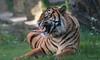 Not amused (babsbaron) Tags: nature tiere animals katzen grosskatzen raubkatzen cats bigcats raubtiere predators jäger hunter zoo osnabrück