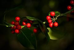 Tis the season (Colin-47) Tags: tistheseason hollyberries redberries holly colin47 panasonicdmcg80 lumixgvario1260mmf3556asph 2017 m43 microfourthirds winter olympus mzuiko 60mmf28 nature