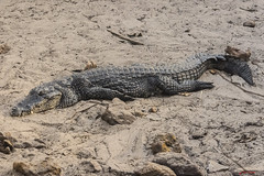 COCCODRILLO HA DEPOSATO LE UOVA    ----    A CROCODRILE  HAS LAID ITS EGGS (Ezio Donati is ) Tags: animali animals natura nature acqua water sabbia sand coccodrillo crocodile africa costadavorio areaassinielagune