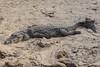 COCCODRILLO HA DEPOSATO LE UOVA    ----    A CROCODRILE  HAS LAID ITS EGGS (Ezio Donati is ) Tags: animali animals natura nature acqua water sabbia sand coccodrillo crocodile africa costadavorio areaassinielagune