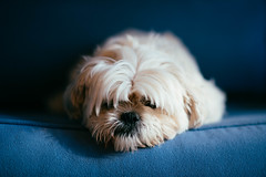 341/365 (Garen M.) Tags: dogs sb910 jill buttercup portraits nikond850 companionanimals jojo chicklet nikkor85mmf14 cats ella