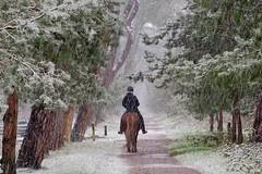 It's snowing! (peeteninge) Tags: snow winter horsebackriding hors forest wood trees nature paardrijden paard bos sneeuw bomen natuur winterstafereel fujifilmxt2 fujifilm