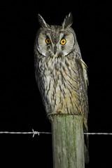 Bufo-pequeno / Long-eared Owl (anacm.silva) Tags: bufopequeno longearedowl owl coruja ave bird wild wildlife nature natureza naturaleza birds aves pontadaerva portugal asiootus