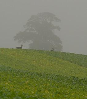 Deer in the winter greens