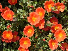Chicago, Lincoln Park Zoo, Tangerine Purslane (Portulaca) (Mary Warren 9.8+ Million Views) Tags: chicago lincolnparkzoo nature flora orange yellow blossoms blooms flowers purslane portulaca