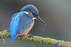 _SEN2576-E (Sento74) Tags: martínpescadorcomún alcedoatthis birds aves nikond500 tamron150600 fauna