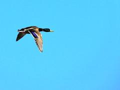 Duck (markb120) Tags: animal fauna bird fowl flyer flier beak bill pecker rostrum neb nib plumage feathering feather coverts coat dress water head eye wing