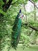 Tasi-240 the peacock hops up into a tree.. (spelio) Tags: tasmania tasi tassie australia nov 2005 travel peacock wildlife