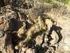 Cumulopuntia sphaerica RB2163, Horridocactus limariensis RB2162 (Robby's Sukkulentenseite) Tags: cacti cactus chile coquimbo cumulopuntia fnrrb2162 fnrrb2163 horridocactus ka4624s ka4673s kakteen kaktus limariensis ovalle rb2162 rb2163 reise sphaerica standort
