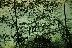 静かに佇む緑の竹林 (小川 Ogawasan) Tags: japan japon kyoto takao river light bamboo silhouette green fresh