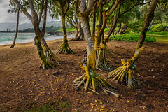 Root structures (rdpe50) Tags: water ocean beach trees roots structures ttrunks foliage oahu hawaii