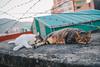 貓 (CLin 柏麟) Tags: clin4086 canon cat animal taiwan travel taipei sigma 1750mm f28 street 台灣 貓 動物 淡水