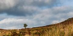 _DSC0693-2516 (SteveKenilworth2014) Tags: worlds end llangollen road polarizer bw bird countryside clouds heaver braken mountain mountains sheep woodland woods tree trees panorama long exposure stitch nikon d5300 18105mm lightroom photoshop photography farmland fall flower flowers farm autumn