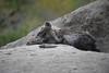 Spotted Hyena (Mike/Claire) Tags: timbavati 2016 southafrica tandatula hyena