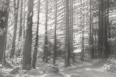 IMG_5857 Te Mata Redwoods failed multiple exposure attempt B & W (roseyposey2009) Tags: canon 70d te mata peak redwoods tematapeakcanon70d