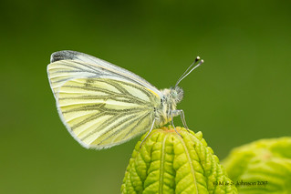 2nd Prize - Green-veined White by Mark Johnson
