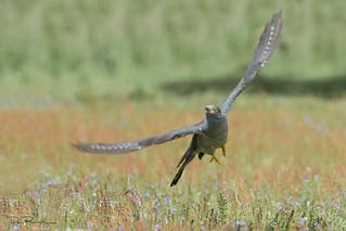 Meadow Cuckoo