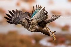 Buteo buteo, Γερακίνα, Common Buzzard (belas62) Tags: bif hawk buzzard ngc greece kalochori raptor γεράκι καλοχώρι γαλλικόσποταμόσ γαλα αρπακτικό macedonia μακεδονία
