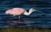 Roseate Spoonbill (Gary McHale) Tags: roseate spoonbill myakka river state park florida ngc npc