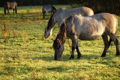 Konik polski (konik biłgorajski) (arkbol) Tags: lubelskie lubelszczyzna nature horse landscape forest