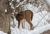 Crunch (view2share) Tags: november122017 november2017 november 2017 deansauvola whitetail whitetaildeer deer snow snowfall snowcover wilderness wildlife michigan mi upperpeninsula uppermichigan northernmichigan northwoods northwood tracking track trace tracing autumn fall winter brouse brousing outdoors houghtoncounty ottawanationalforest woods wood forest rural animal doe fawn yearling visitor reserve