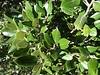Stein-Eiche - Quercus ilex, NGID1304032785 (naturgucker.de) Tags: ngid1304032785 naturguckerde steineiche quercusilex 1750929062 1921017425 chorstschlüter