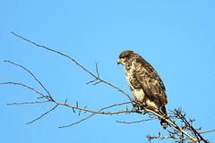 Derek Hatton_Buzzard in Southern Wood_QBM.MG4A3351 (claylaner) Tags: buzzard buteobuteo bird raptor styal cheshire canon5dmk4 sigma150600mmlens isolation blue