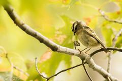 El  Golden-crowned Kinglet / Reyezuelo de moño Dorado (Regulus satrapa) (Gogolac) Tags: 2017 aves birdphotography birdie birds canon7dmii crotonpointpark fauna location newyork otoño park season usa year birdspot birdingrd birdsspotters fotografiasrealizadasenel2017